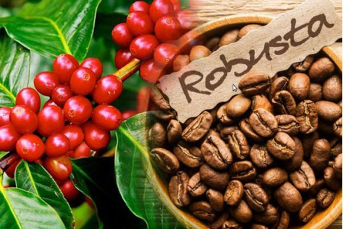 Café nguyên chất Robusta