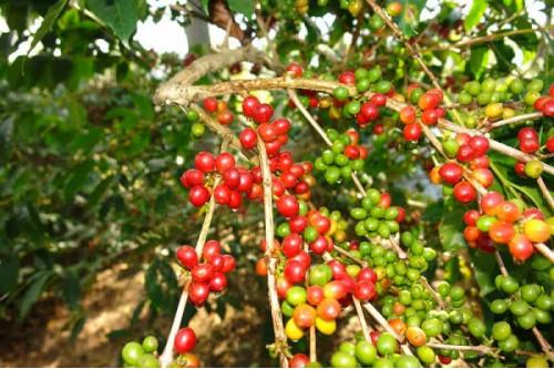 Thời tiết Brazil bớt lạnh – nguyên nhân khiến giá cà phê đột ngột giảm mạnh